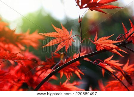 Close-up of bright red Japanese maple or Acer palmatum leaves on the autumn garden