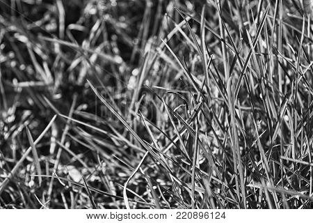 Monochrome Fresh grass morning, background of herb