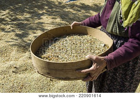 a female farmer who is trying to clean the newly harvested green lentils with a sieve,