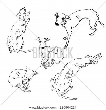 Set of skinny Italian Greyhounds. Dog collection