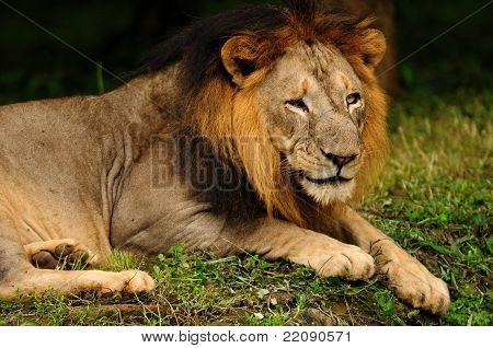 Asiatic Lion Male