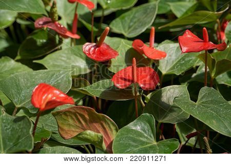 Anthurium andraeanum Linden, a flowering plants in the Araceae family. It is commonly called tailflower, flamingo flower, and laceleaf.