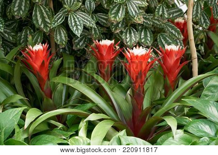 Guzmania Magnifica. Guzmania is a genus of over 120 species of flowering plants in the family Bromeliaceae.