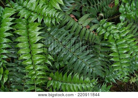 Nephrolepis exaltata, a species of fern in the family Lomariopsidaceae. It is also called as the sword fern and native to tropical regions throughout the world.