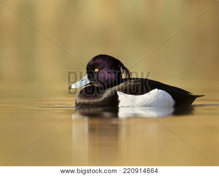 Male Tufted Duck (Aythya fuligula) swimming in the pond against colorful background, England.