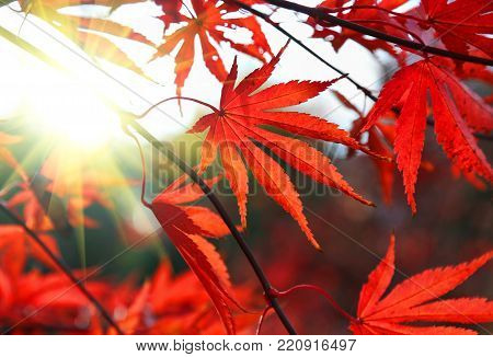 Close-up of bright red Japanese maple or Acer palmatum leaves and sunlight on the autumn garden