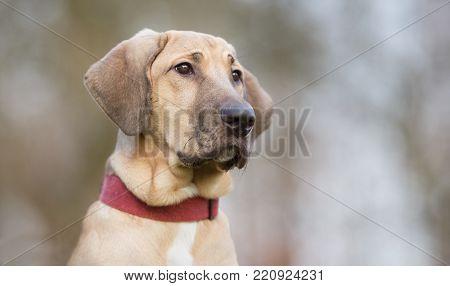 Mops Dog