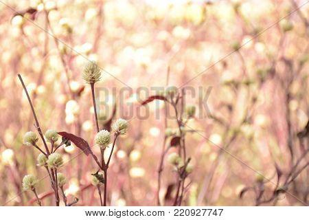 the beautiful pink flowers background of Kaen Makrut garden.