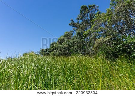 Environment of long grass and pohutukawa trees against bright blue sky at Point Chevalier Beach Auckland, New Zealand.