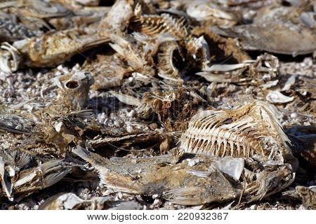 Fish bone carcasses taken on a desolate beach in the shrinking Salton Sea caused by drought conditions