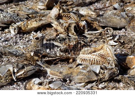 Dead fish carcasses with scattered bones taken on the beach at the Salton Sea, CA which is shrinking and becoming more salty because of prolonged drought conditions