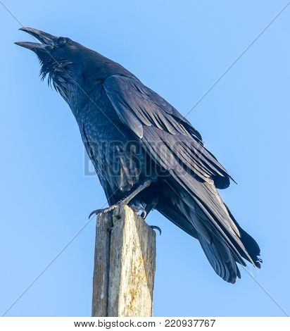 Common Raven (Corvus corax) perched on a pole and croaking. Marin County, California, USA.