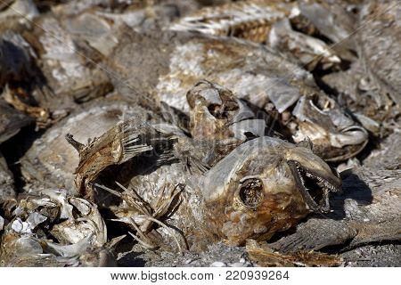 Tilapia Fish Bones washed up on a beach taken at the Salton Sea, CA which is shrinking in size because of a prolonged drought and becoming to salty for many fish