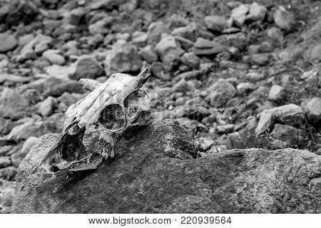 The creepy skull of a big mammal lying on a rocky lake beach.