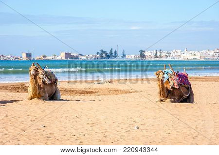 Camels On The Beach In Essaouira