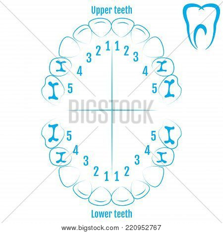 Orthodontist Human Tooth Anatomy Vector With Numbering Of Teeth