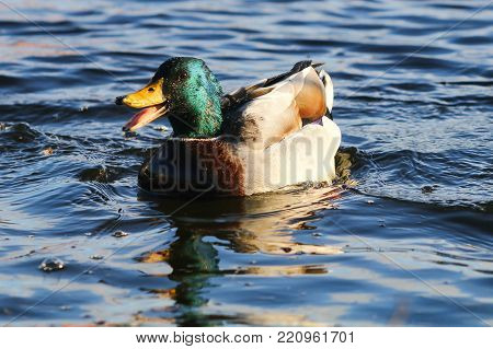 A mallard drake quacking with beak wide open