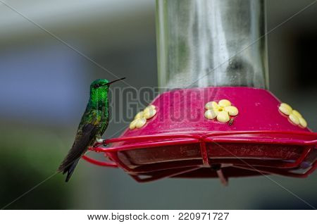 A copper rumped hummingbird, latin name Amazilia tobaci, perching on a nectar feeder in the rainforest of Tobago, Trinidad and Tobago.