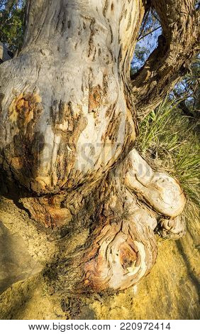 Eucalyptus tree bulbous root structure exposed through extensive soil erosion. Such situations occur in many natural Australian habitats and is an environmental concern.