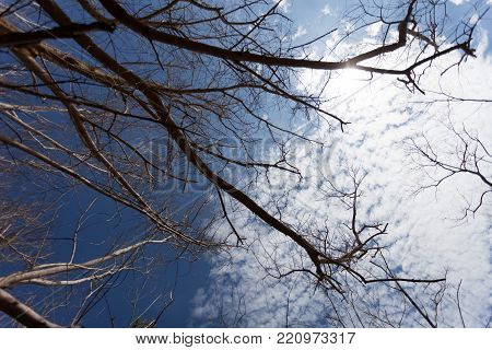 Dry tree or dead tree branches on blue sky background and sun flare