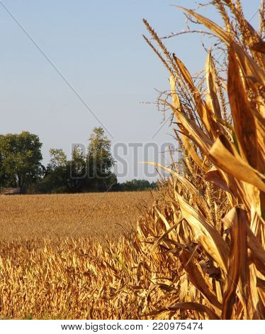 Mature golden corn field ready for harvest in autumn