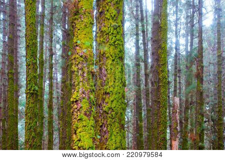 Trunks of pines with moss in foggy forest