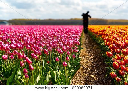 Large view on the farmer harvesting the tulips on the field