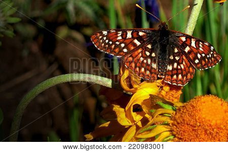 Bright Orange Painted Lady Butterfly With White Spots