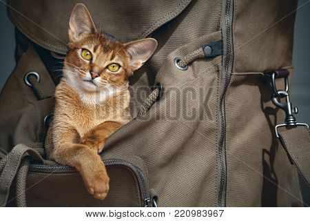 Cute light brown cat sitting in open backpacker and probably saying