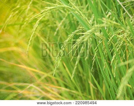 New paddy rice (Golden rice) growing in rice fields. Close up of green paddy rice. Thailand
