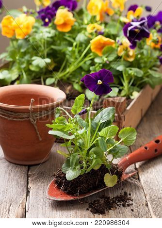 Spring transplant pansies. The box with flowers, pot, scoop on a wooden background