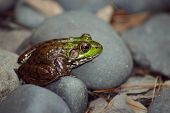 A green and brown frog sitting on rock. poster