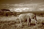 sepia of lone african elephant in front of Mt. Kilimanjaro poster