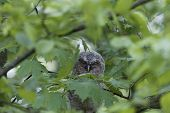 A young tawny owl (Strix aluco) hidden in green leaves of a tree. poster
