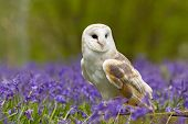 Barn Owl in a field of bluebells poster