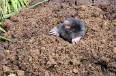 Mole put out his head from mole hole. Enemy for beautiful lawn. poster