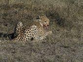 Cheetah eating a rabbit in Ngorongoro Crater Tanzania poster