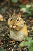 Eastern Chipmunk (Tamias striatus) With Cheek Pouches Full of Food poster