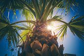Coachella Valley Palm Tree Closeup. Southern California Vegetation. United States of America. poster