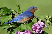 Male Eastern Bluebird (Sialia sialis) in a branch of Hibiscus flowers poster