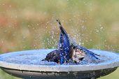 Eastern Bluebird (Sialia sialis) in a bird bath poster