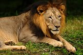 Portrait of an Asiatic Lion a critically endangered animal found only in Gir National Forest in India poster