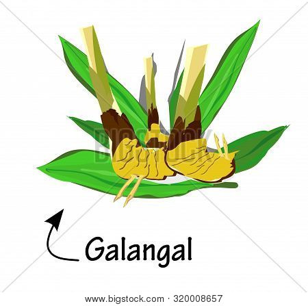 Galangal And Leaves, Asian Herbs And Vector Illustrations , Qualified As Medicines And Alternative M