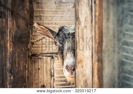 Close Up Of Goat In Stable. Brown Goats Portrait. Close Up Of A Goat In Stable. Goat. Nature. Goat H