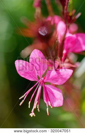Pink Beautiful Gaura Flower Close Up - Wandflower Or Beeblossom (gaura Lindheimeri)
