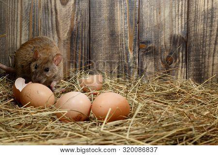 Close-up Wild Rat (rattus Norvegicus)  Lurk Near Eggs In The Chicken Coop. Concept Of Rodent Control