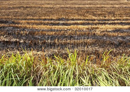 burnt rice field