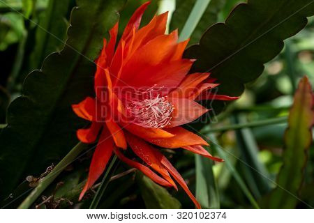 View Of Red Flowering Epiphyllum Hybrids Wendi (orchid Cacti) Plant. Macro Photography Of Lively Nat