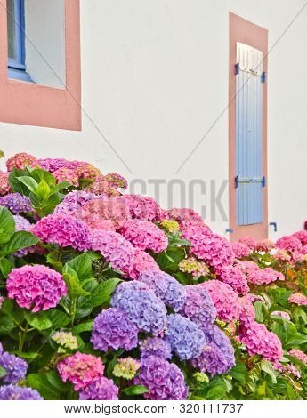 Sunny View In Front Of A Blue Window With Shutters Of An Old Farm House, With A Bush Of Pink Flowers