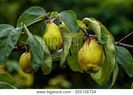 View Of Quince Foliage And Ripening Fruit In The Summer Garden. Macro Photography Of Lively Nature.